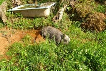 Exhibición de Perros de Rastro atraillados sobre Rastro de Jabalí